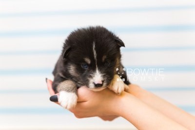 puppy90 week3 BowTiePomsky.com Bowtie Pomsky Puppy For Sale Husky Pomeranian Mini Dog Spokane WA Breeder Blue Eyes Pomskies Celebrity Puppy web1