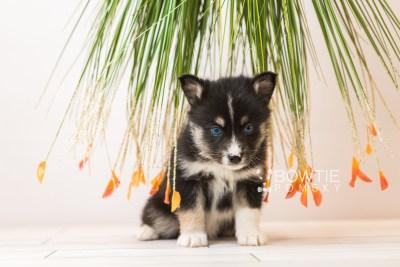 puppy90 week5 BowTiePomsky.com Bowtie Pomsky Puppy For Sale Husky Pomeranian Mini Dog Spokane WA Breeder Blue Eyes Pomskies Celebrity Puppy web5