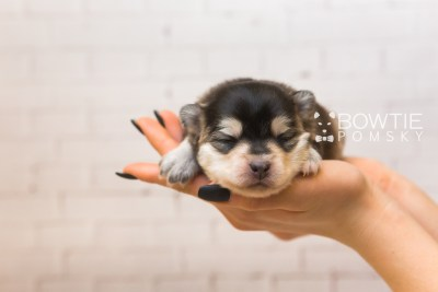 puppy91 week1 BowTiePomsky.com Bowtie Pomsky Puppy For Sale Husky Pomeranian Mini Dog Spokane WA Breeder Blue Eyes Pomskies Celebrity Puppy web5