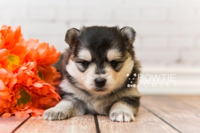 puppy91 week3 BowTiePomsky.com Bowtie Pomsky Puppy For Sale Husky Pomeranian Mini Dog Spokane WA Breeder Blue Eyes Pomskies Celebrity Puppy web2