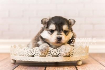 puppy91 week3 BowTiePomsky.com Bowtie Pomsky Puppy For Sale Husky Pomeranian Mini Dog Spokane WA Breeder Blue Eyes Pomskies Celebrity Puppy web3