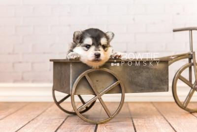 puppy91 week3 BowTiePomsky.com Bowtie Pomsky Puppy For Sale Husky Pomeranian Mini Dog Spokane WA Breeder Blue Eyes Pomskies Celebrity Puppy web6