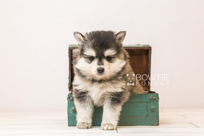 puppy91 week5 BowTiePomsky.com Bowtie Pomsky Puppy For Sale Husky Pomeranian Mini Dog Spokane WA Breeder Blue Eyes Pomskies Celebrity Puppy web1