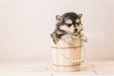 puppy91 week5 BowTiePomsky.com Bowtie Pomsky Puppy For Sale Husky Pomeranian Mini Dog Spokane WA Breeder Blue Eyes Pomskies Celebrity Puppy web5