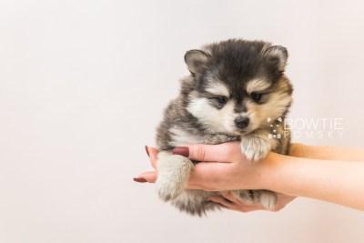 puppy91 week5 BowTiePomsky.com Bowtie Pomsky Puppy For Sale Husky Pomeranian Mini Dog Spokane WA Breeder Blue Eyes Pomskies Celebrity Puppy web6