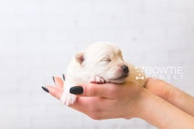 puppy92 week1 BowTiePomsky.com Bowtie Pomsky Puppy For Sale Husky Pomeranian Mini Dog Spokane WA Breeder Blue Eyes Pomskies Celebrity Puppy web5