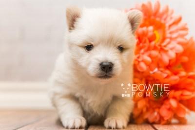 puppy92 week3 BowTiePomsky.com Bowtie Pomsky Puppy For Sale Husky Pomeranian Mini Dog Spokane WA Breeder Blue Eyes Pomskies Celebrity Puppy web3