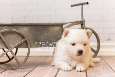 puppy92 week3 BowTiePomsky.com Bowtie Pomsky Puppy For Sale Husky Pomeranian Mini Dog Spokane WA Breeder Blue Eyes Pomskies Celebrity Puppy web6