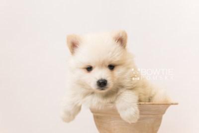 puppy92 week5 BowTiePomsky.com Bowtie Pomsky Puppy For Sale Husky Pomeranian Mini Dog Spokane WA Breeder Blue Eyes Pomskies Celebrity Puppy web2
