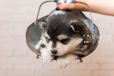 puppy93 week3 BowTiePomsky.com Bowtie Pomsky Puppy For Sale Husky Pomeranian Mini Dog Spokane WA Breeder Blue Eyes Pomskies Celebrity Puppy web2