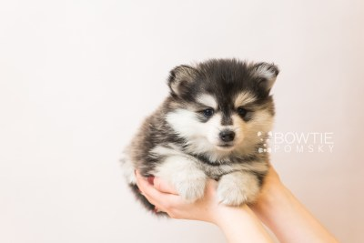puppy93 week5 BowTiePomsky.com Bowtie Pomsky Puppy For Sale Husky Pomeranian Mini Dog Spokane WA Breeder Blue Eyes Pomskies Celebrity Puppy web1