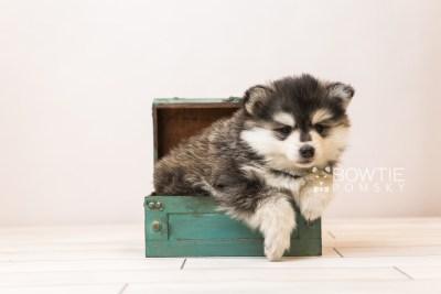 puppy93 week5 BowTiePomsky.com Bowtie Pomsky Puppy For Sale Husky Pomeranian Mini Dog Spokane WA Breeder Blue Eyes Pomskies Celebrity Puppy web2