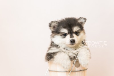 puppy93 week5 BowTiePomsky.com Bowtie Pomsky Puppy For Sale Husky Pomeranian Mini Dog Spokane WA Breeder Blue Eyes Pomskies Celebrity Puppy web6