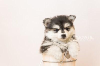 puppy93 week5 BowTiePomsky.com Bowtie Pomsky Puppy For Sale Husky Pomeranian Mini Dog Spokane WA Breeder Blue Eyes Pomskies Celebrity Puppy web6