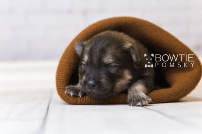 puppy94 week1 BowTiePomsky.com Bowtie Pomsky Puppy For Sale Husky Pomeranian Mini Dog Spokane WA Breeder Blue Eyes Pomskies Celebrity Puppy web2