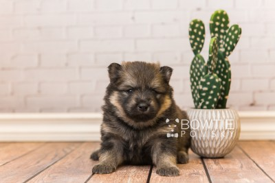 puppy94 week3 BowTiePomsky.com Bowtie Pomsky Puppy For Sale Husky Pomeranian Mini Dog Spokane WA Breeder Blue Eyes Pomskies Celebrity Puppy web3