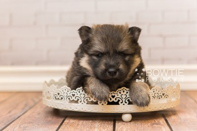 puppy94 week3 BowTiePomsky.com Bowtie Pomsky Puppy For Sale Husky Pomeranian Mini Dog Spokane WA Breeder Blue Eyes Pomskies Celebrity Puppy web4