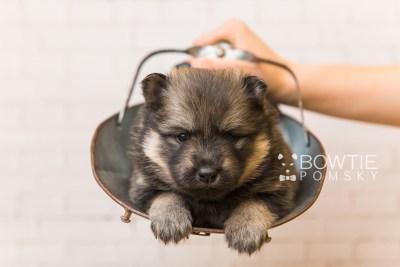 puppy94 week3 BowTiePomsky.com Bowtie Pomsky Puppy For Sale Husky Pomeranian Mini Dog Spokane WA Breeder Blue Eyes Pomskies Celebrity Puppy web6