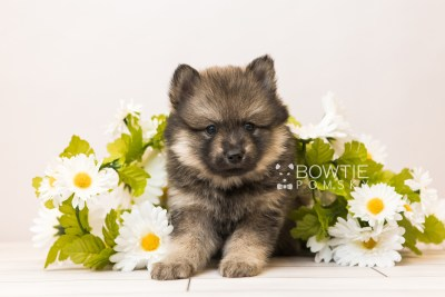 puppy94 week5 BowTiePomsky.com Bowtie Pomsky Puppy For Sale Husky Pomeranian Mini Dog Spokane WA Breeder Blue Eyes Pomskies Celebrity Puppy web4
