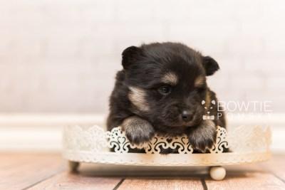 puppy95 week3 BowTiePomsky.com Bowtie Pomsky Puppy For Sale Husky Pomeranian Mini Dog Spokane WA Breeder Blue Eyes Pomskies Celebrity Puppy web6