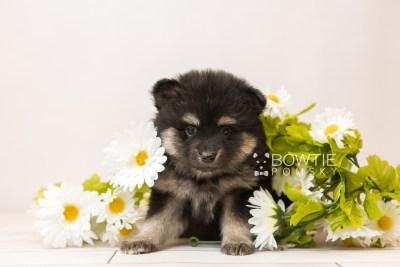 puppy95 week5 BowTiePomsky.com Bowtie Pomsky Puppy For Sale Husky Pomeranian Mini Dog Spokane WA Breeder Blue Eyes Pomskies Celebrity Puppy web5