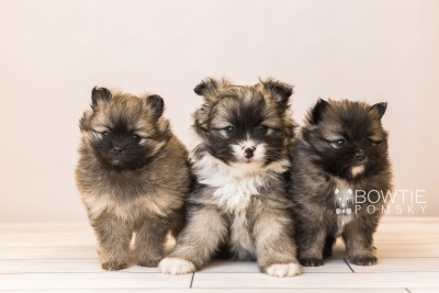 puppy96-98 week5 BowTiePomsky.com Bowtie Pomsky Puppy For Sale Husky Pomeranian Mini Dog Spokane WA Breeder Blue Eyes Pomskies Celebrity Puppy web1