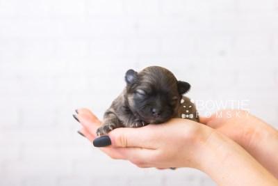 puppy96 week1 BowTiePomsky.com Bowtie Pomsky Puppy For Sale Husky Pomeranian Mini Dog Spokane WA Breeder Blue Eyes Pomskies Celebrity Puppy web6
