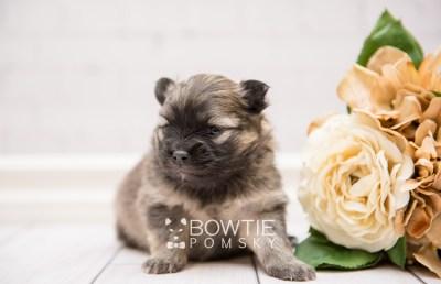 puppy96 week3 BowTiePomsky.com Bowtie Pomsky Puppy For Sale Husky Pomeranian Mini Dog Spokane WA Breeder Blue Eyes Pomskies Celebrity Puppy web3