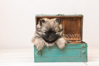puppy96 week5 BowTiePomsky.com Bowtie Pomsky Puppy For Sale Husky Pomeranian Mini Dog Spokane WA Breeder Blue Eyes Pomskies Celebrity Puppy web5