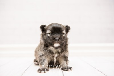 puppy97 week3 BowTiePomsky.com Bowtie Pomsky Puppy For Sale Husky Pomeranian Mini Dog Spokane WA Breeder Blue Eyes Pomskies Celebrity Puppy web3