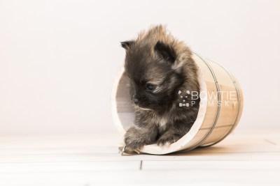 puppy97 week5 BowTiePomsky.com Bowtie Pomsky Puppy For Sale Husky Pomeranian Mini Dog Spokane WA Breeder Blue Eyes Pomskies Celebrity Puppy web3
