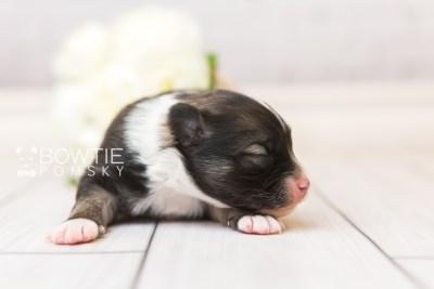 puppy98 week1 BowTiePomsky.com Bowtie Pomsky Puppy For Sale Husky Pomeranian Mini Dog Spokane WA Breeder Blue Eyes Pomskies Celebrity Puppy web5