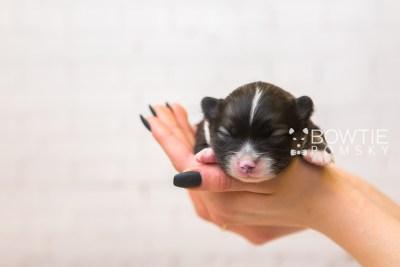puppy98 week1 BowTiePomsky.com Bowtie Pomsky Puppy For Sale Husky Pomeranian Mini Dog Spokane WA Breeder Blue Eyes Pomskies Celebrity Puppy web6