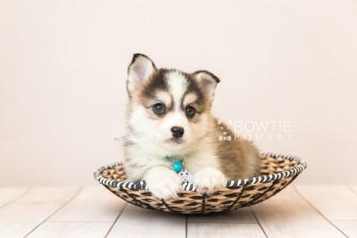 puppy85 week7 BowTiePomsky.com Bowtie Pomsky Puppy For Sale Husky Pomeranian Mini Dog Spokane WA Breeder Blue Eyes Pomskies Celebrity Puppy web2