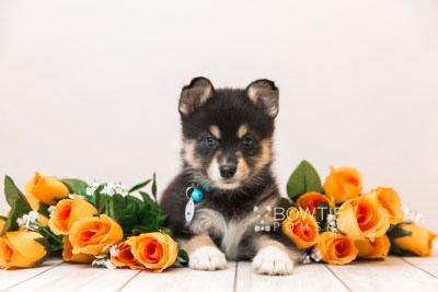 puppy87 week7 BowTiePomsky.com Bowtie Pomsky Puppy For Sale Husky Pomeranian Mini Dog Spokane WA Breeder Blue Eyes Pomskies Celebrity Puppy web1