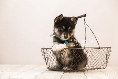 puppy87 week7 BowTiePomsky.com Bowtie Pomsky Puppy For Sale Husky Pomeranian Mini Dog Spokane WA Breeder Blue Eyes Pomskies Celebrity Puppy web5