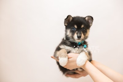 puppy87 week7 BowTiePomsky.com Bowtie Pomsky Puppy For Sale Husky Pomeranian Mini Dog Spokane WA Breeder Blue Eyes Pomskies Celebrity Puppy web6