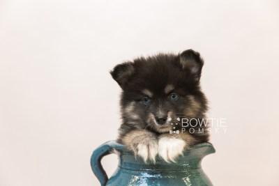 puppy88 week7 BowTiePomsky.com Bowtie Pomsky Puppy For Sale Husky Pomeranian Mini Dog Spokane WA Breeder Blue Eyes Pomskies Celebrity Puppy web3