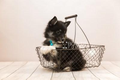 puppy89 week7 BowTiePomsky.com Bowtie Pomsky Puppy For Sale Husky Pomeranian Mini Dog Spokane WA Breeder Blue Eyes Pomskies Celebrity Puppy web1