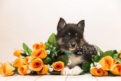 puppy89 week7 BowTiePomsky.com Bowtie Pomsky Puppy For Sale Husky Pomeranian Mini Dog Spokane WA Breeder Blue Eyes Pomskies Celebrity Puppy web2