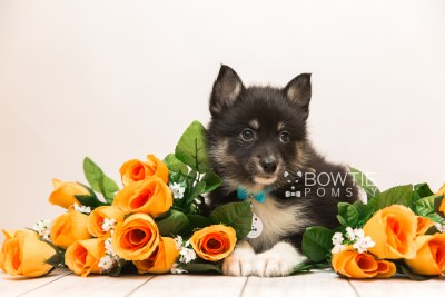 puppy89 week7 BowTiePomsky.com Bowtie Pomsky Puppy For Sale Husky Pomeranian Mini Dog Spokane WA Breeder Blue Eyes Pomskies Celebrity Puppy web2