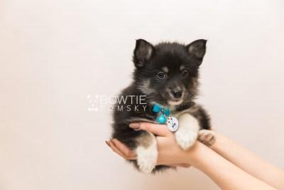 puppy89 week7 BowTiePomsky.com Bowtie Pomsky Puppy For Sale Husky Pomeranian Mini Dog Spokane WA Breeder Blue Eyes Pomskies Celebrity Puppy web6