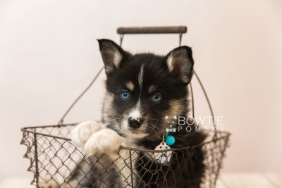 puppy90 week7 BowTiePomsky.com Bowtie Pomsky Puppy For Sale Husky Pomeranian Mini Dog Spokane WA Breeder Blue Eyes Pomskies Celebrity Puppy web1
