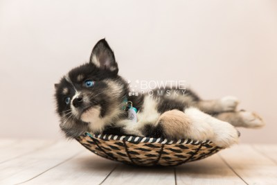 puppy90 week7 BowTiePomsky.com Bowtie Pomsky Puppy For Sale Husky Pomeranian Mini Dog Spokane WA Breeder Blue Eyes Pomskies Celebrity Puppy web2