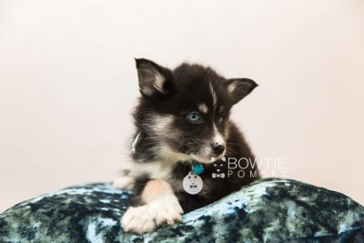 puppy90 week7 BowTiePomsky.com Bowtie Pomsky Puppy For Sale Husky Pomeranian Mini Dog Spokane WA Breeder Blue Eyes Pomskies Celebrity Puppy web4