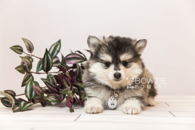puppy91 week7 BowTiePomsky.com Bowtie Pomsky Puppy For Sale Husky Pomeranian Mini Dog Spokane WA Breeder Blue Eyes Pomskies Celebrity Puppy web1