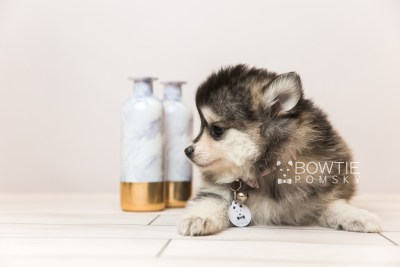 puppy91 week7 BowTiePomsky.com Bowtie Pomsky Puppy For Sale Husky Pomeranian Mini Dog Spokane WA Breeder Blue Eyes Pomskies Celebrity Puppy web2