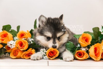 puppy91 week7 BowTiePomsky.com Bowtie Pomsky Puppy For Sale Husky Pomeranian Mini Dog Spokane WA Breeder Blue Eyes Pomskies Celebrity Puppy web5
