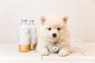 puppy92 week7 BowTiePomsky.com Bowtie Pomsky Puppy For Sale Husky Pomeranian Mini Dog Spokane WA Breeder Blue Eyes Pomskies Celebrity Puppy web3