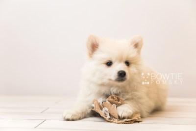 puppy92 week7 BowTiePomsky.com Bowtie Pomsky Puppy For Sale Husky Pomeranian Mini Dog Spokane WA Breeder Blue Eyes Pomskies Celebrity Puppy web4